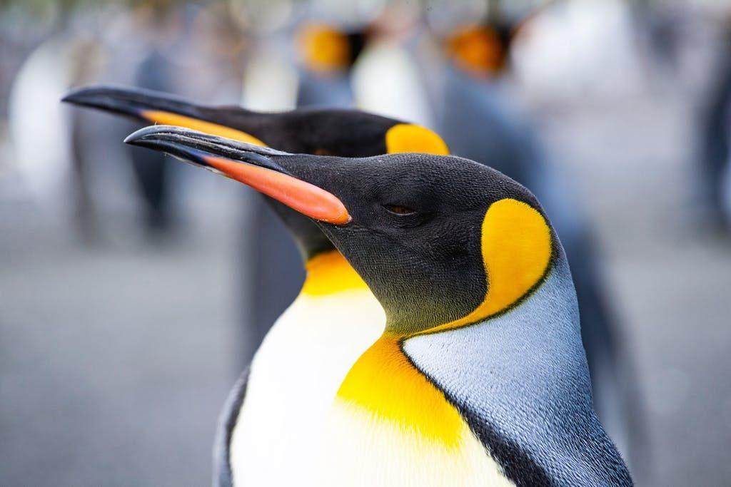 Imagen: Dos pingüinos Rey, Gold Harbour, Sur de Georgia/Benn Berkeley