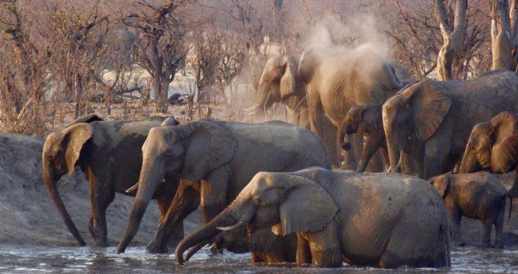 Elefantes africanos en su hábitat natural